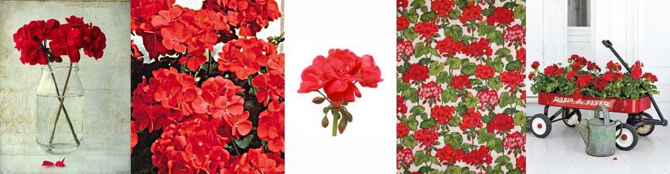 glorious geraniums