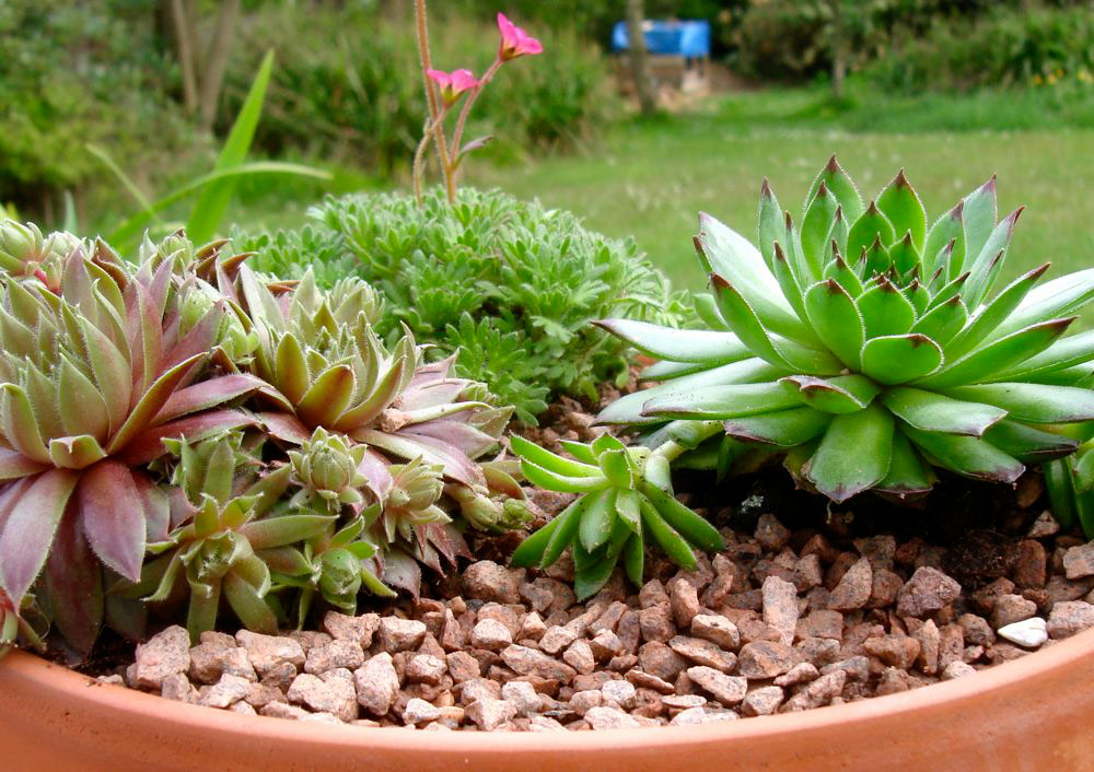 Planting Alpines - Alpine Container Garden