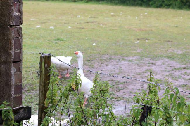 Farm shop geese
