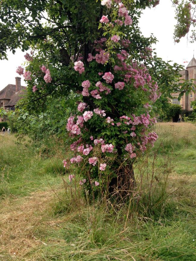 Roses at Sissinghurst