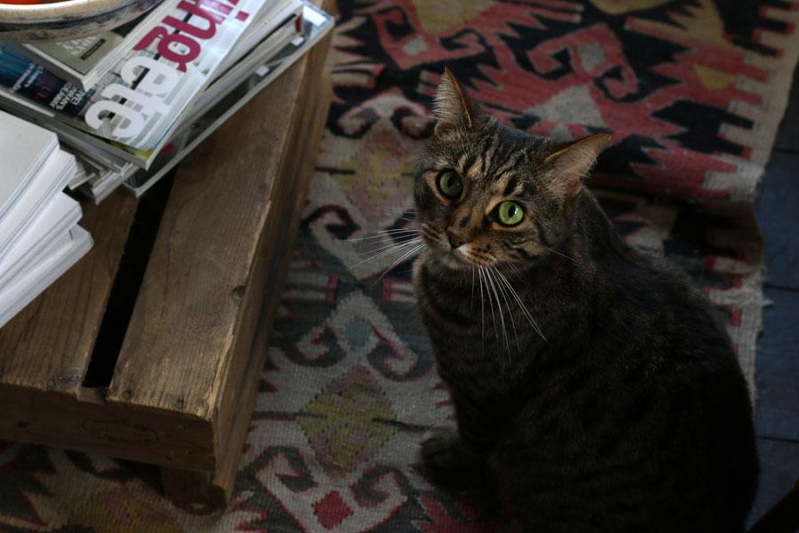 Marlo tabby cat