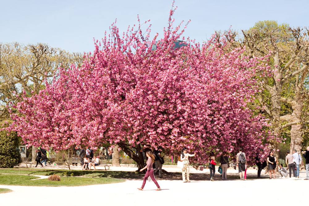 The Most Beautiful Tree In Paris Spring In The City