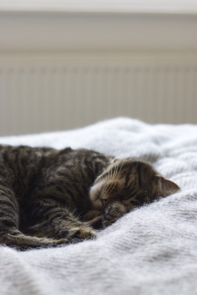 Gotland blanket and tabby cat