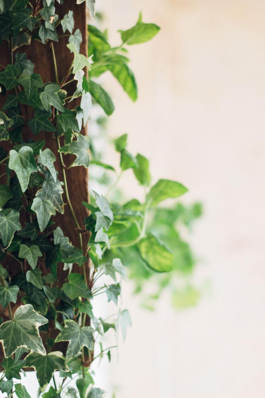 Indoor Ivy Plant