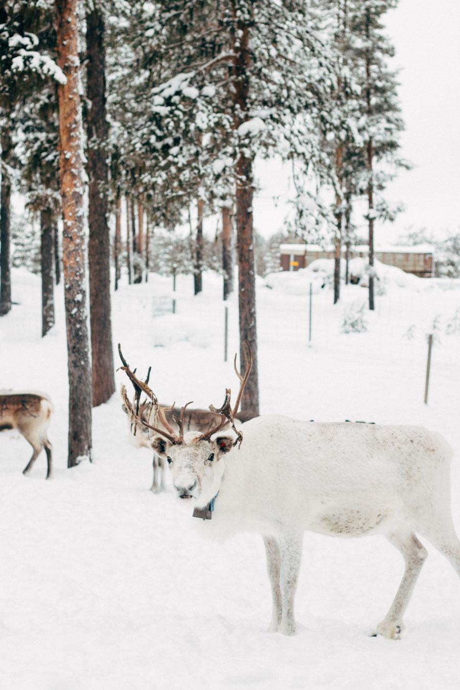 Swedish Lapland Nil's Reindeer