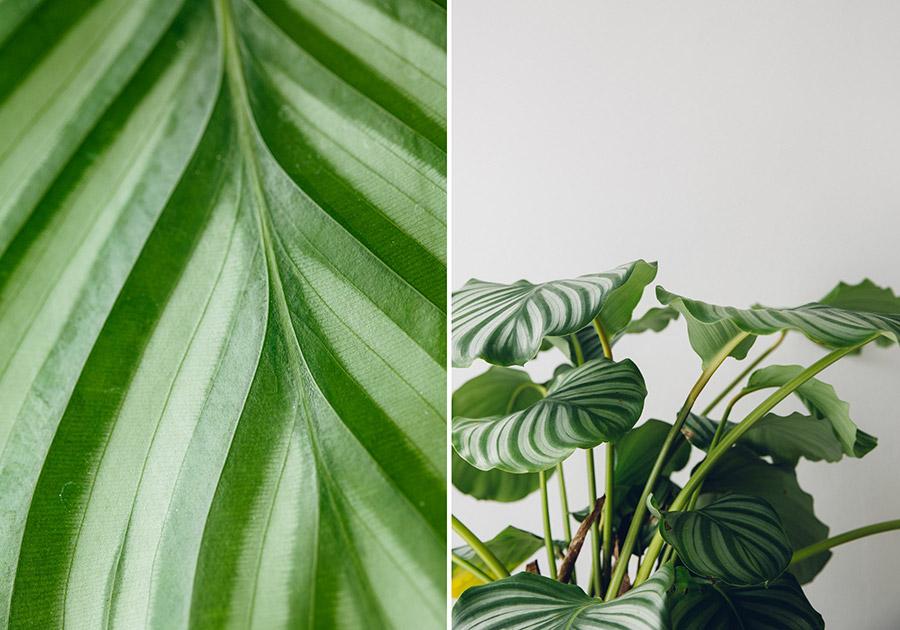 Indoor Calathea plant