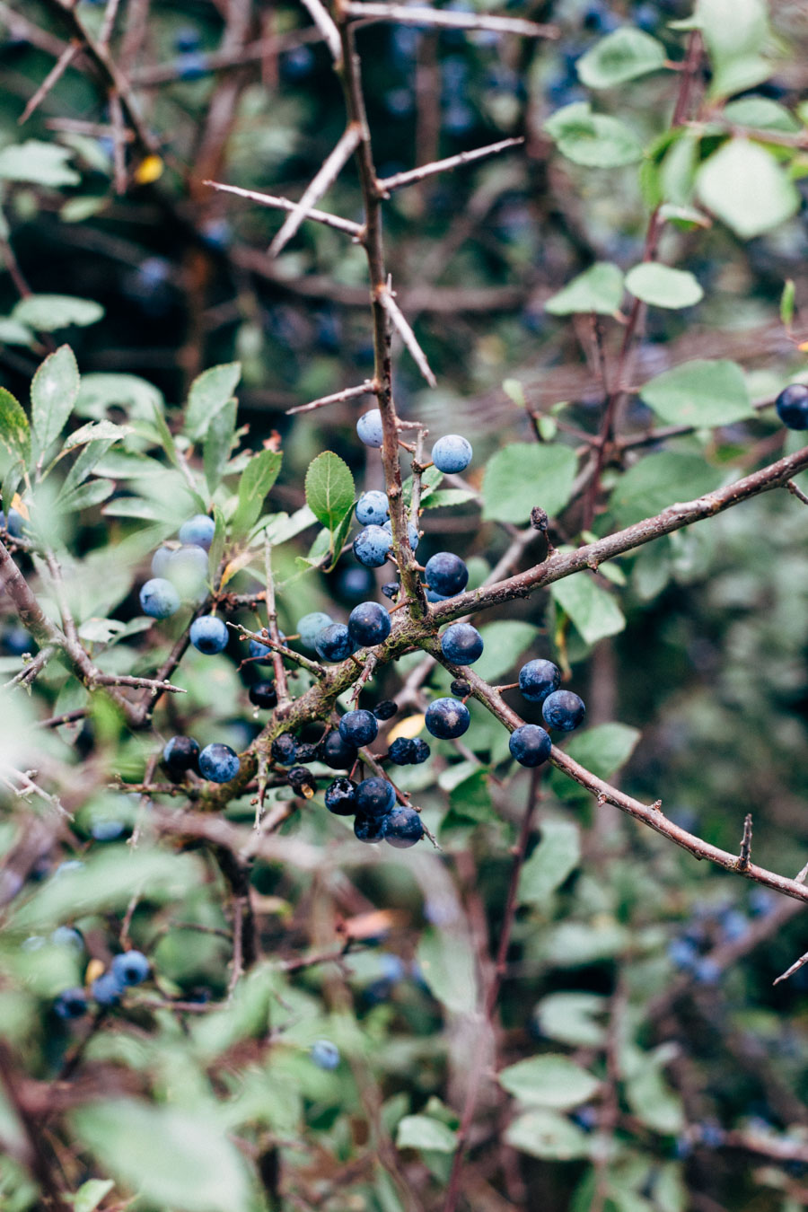 Hunting for sloes