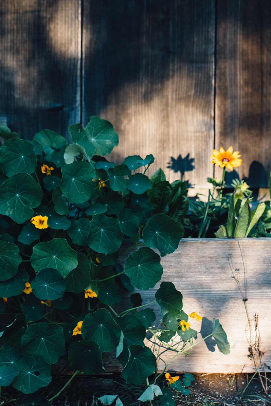 Organic Nasturtiums