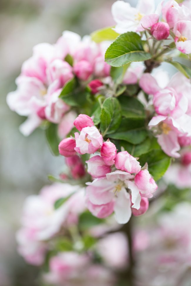 Apple blossom in May