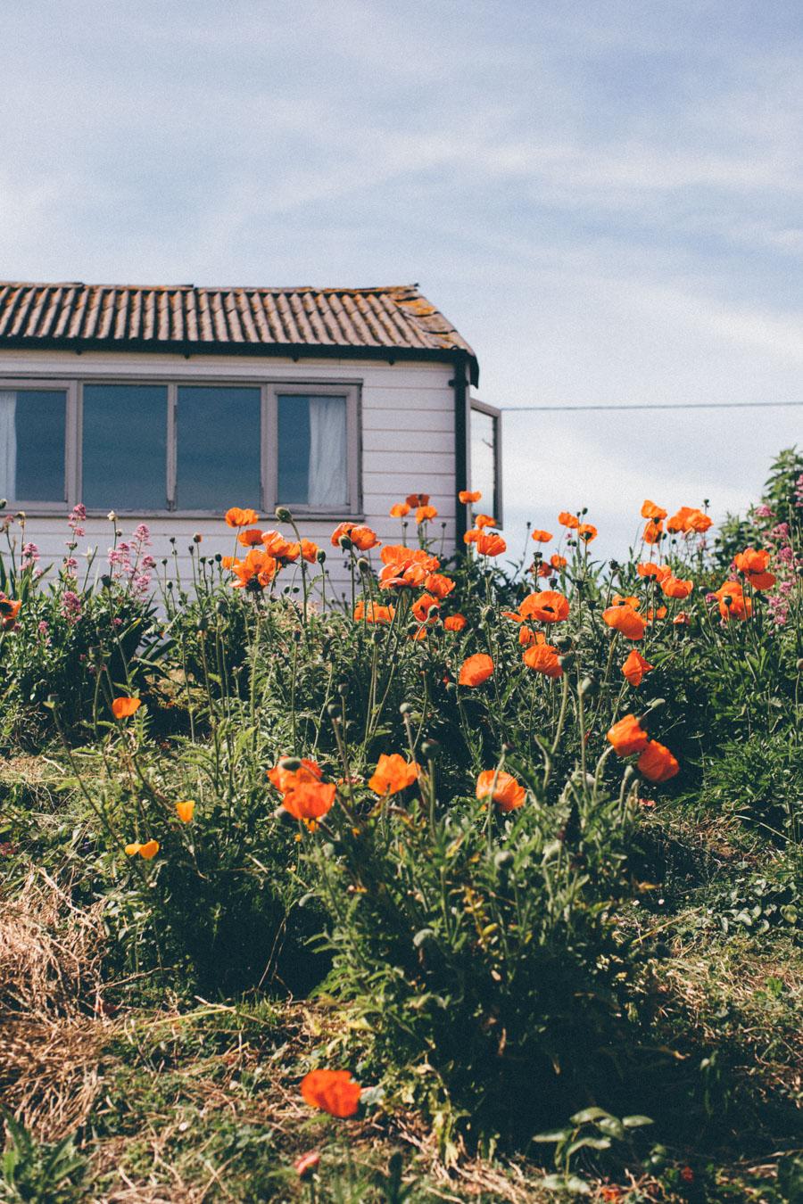 Wild poppy garden