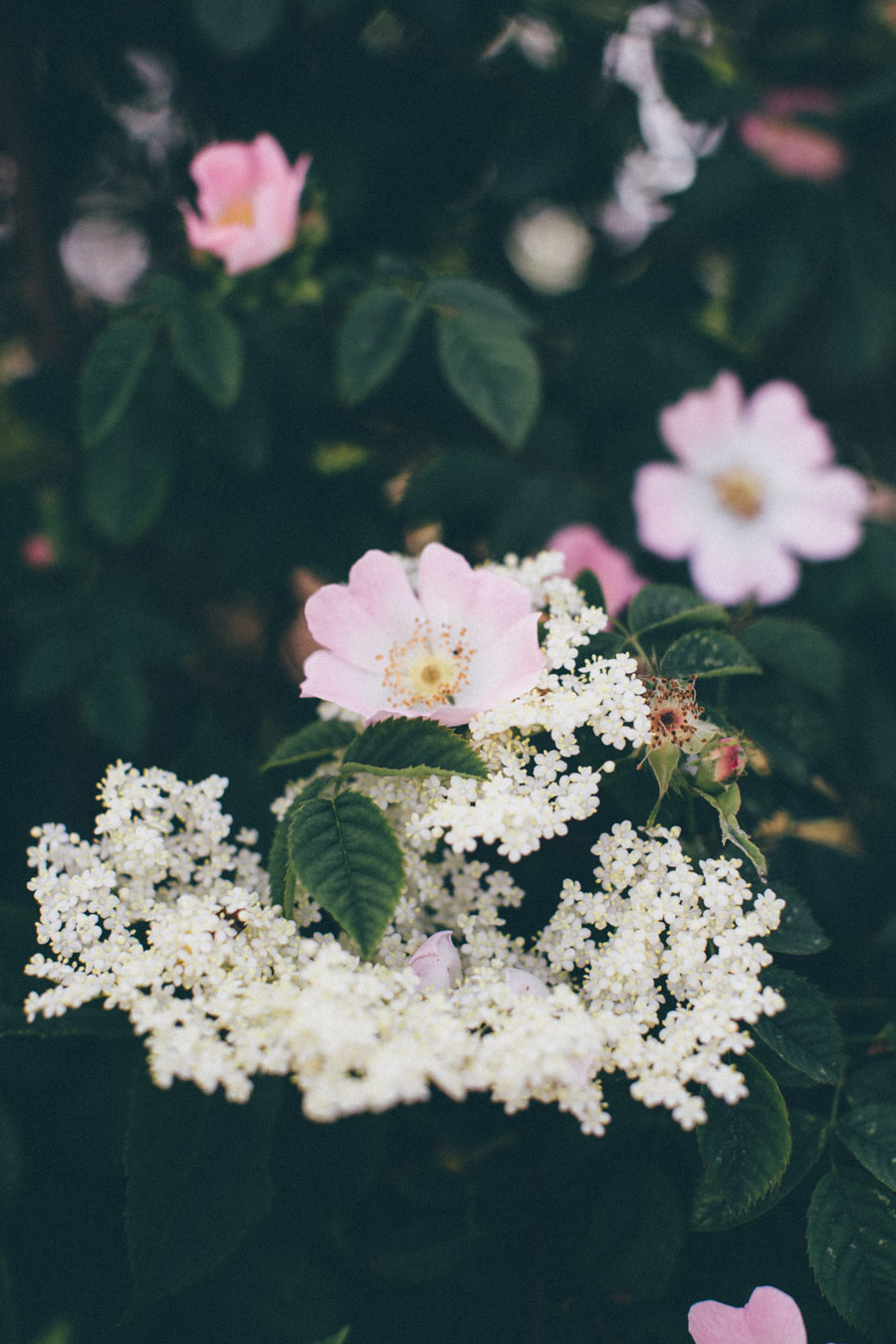 Elder flower and roses