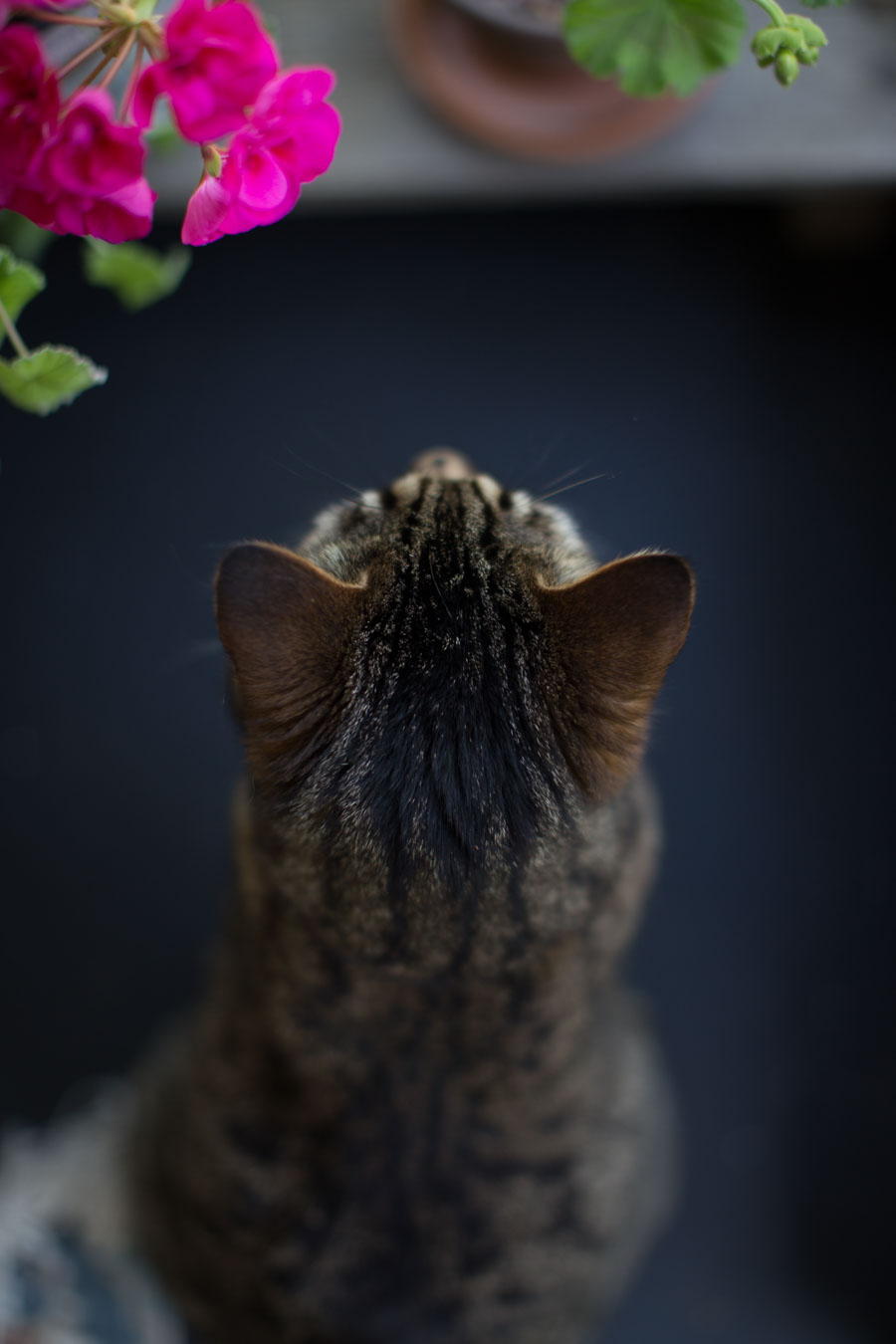 Tabby cat and flowers