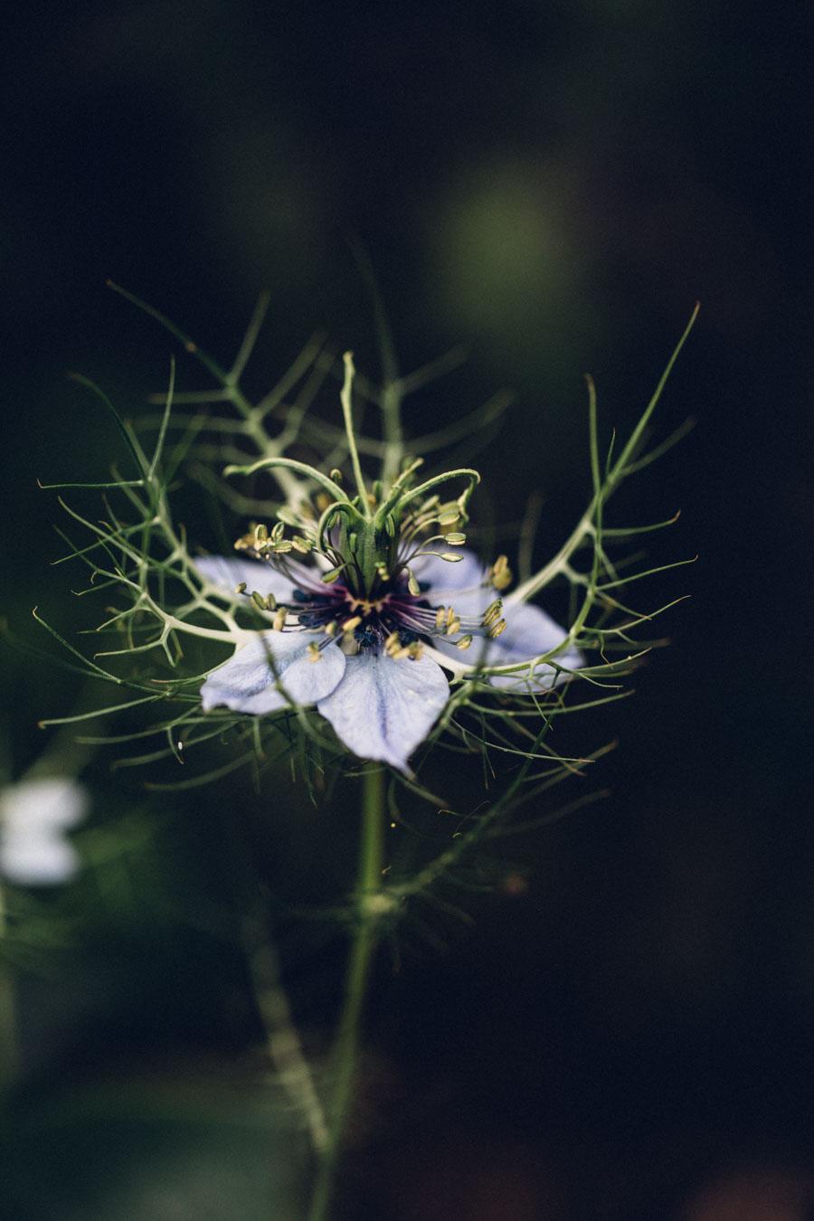 Nigella flowers
