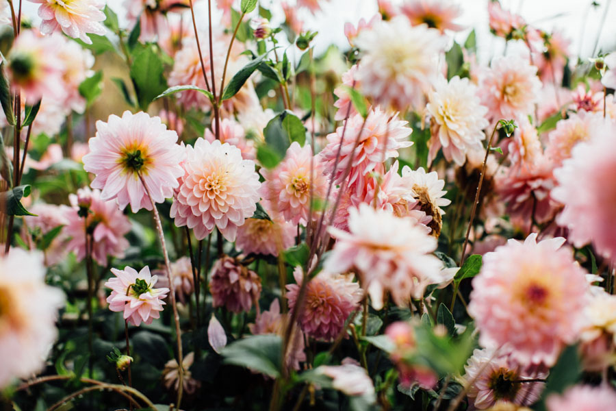 Summer Dahlias