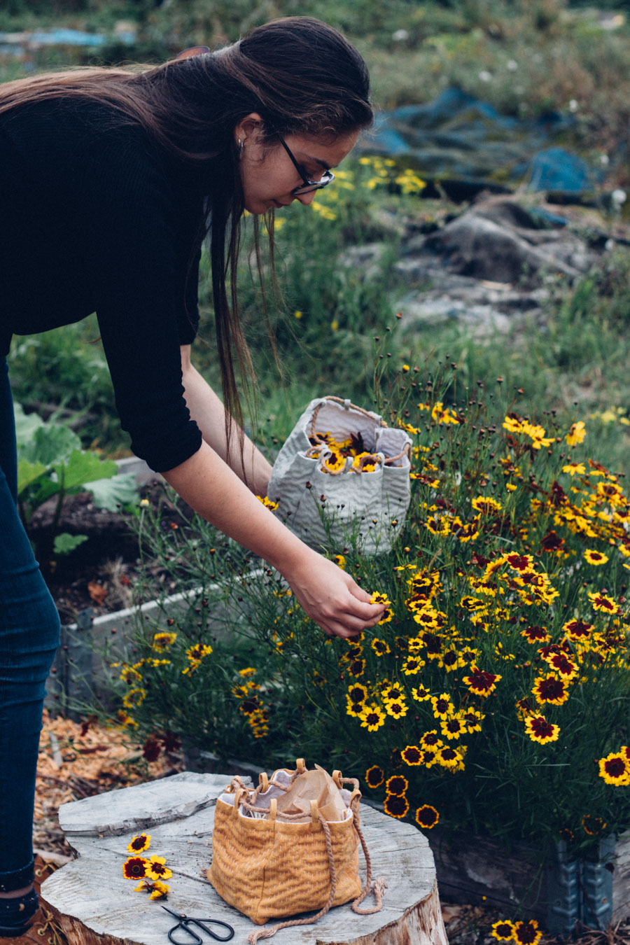 Picking and growing dyer's coreopsis