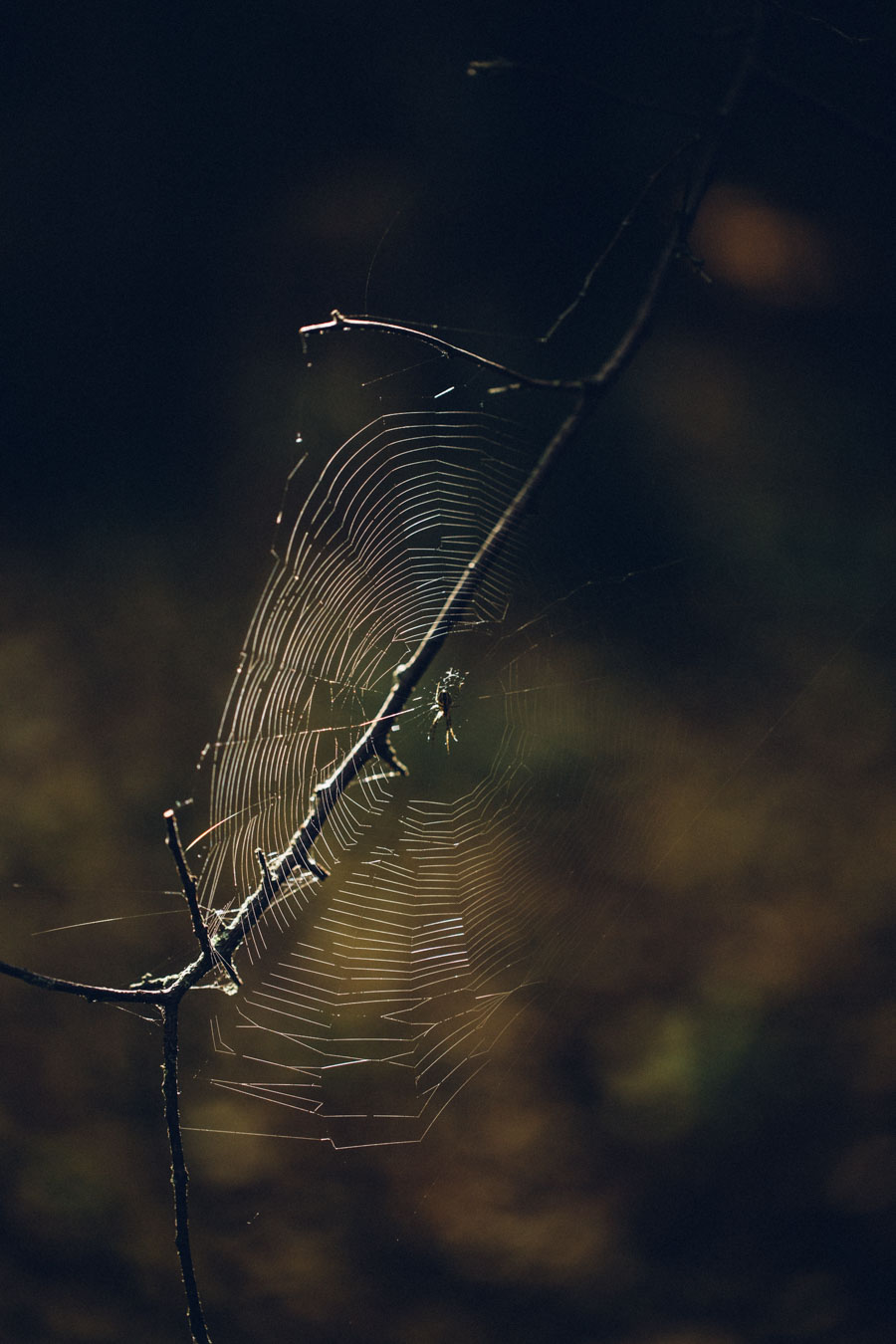 Spiders web in the afternoon sun