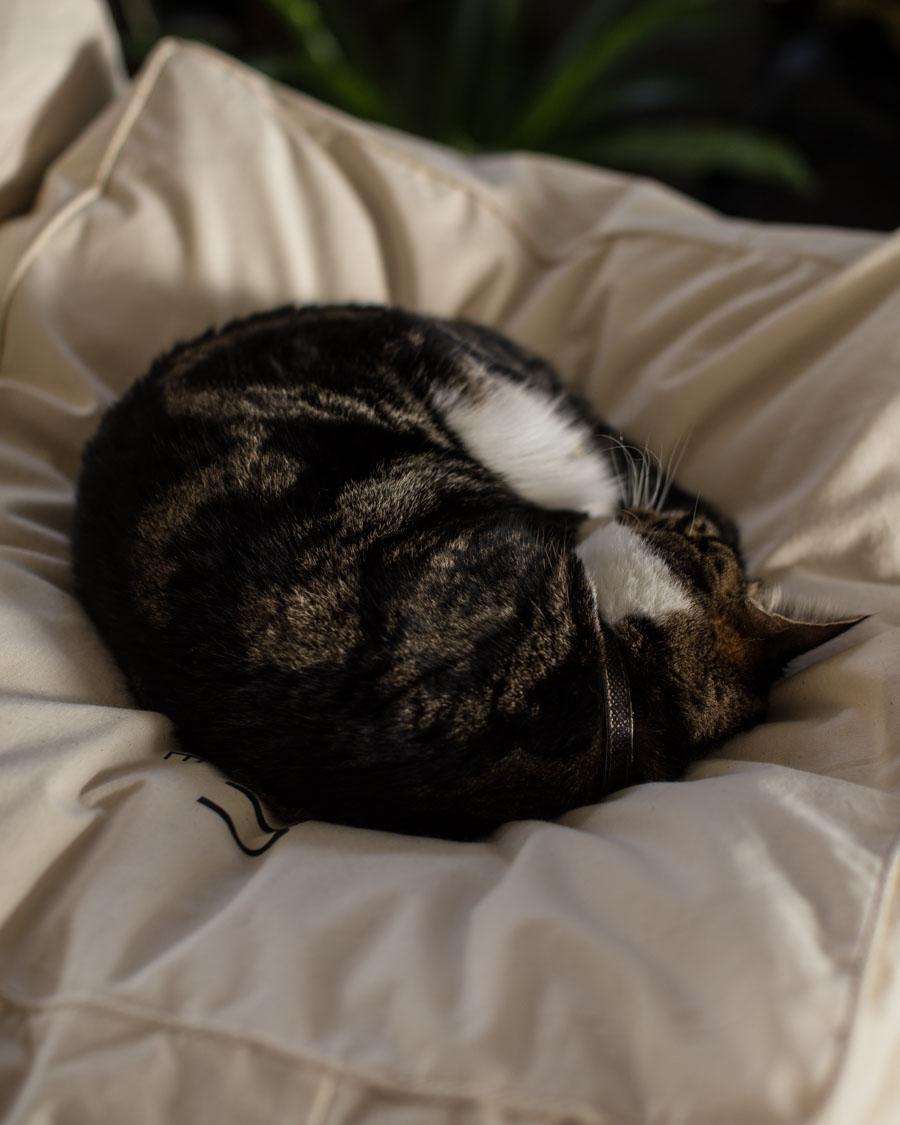 Wallis the Tabby cat sleeping