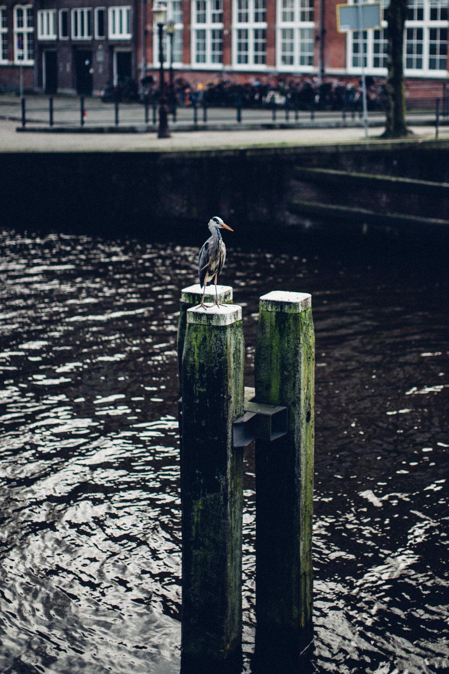 Amsterdam canal wildlife