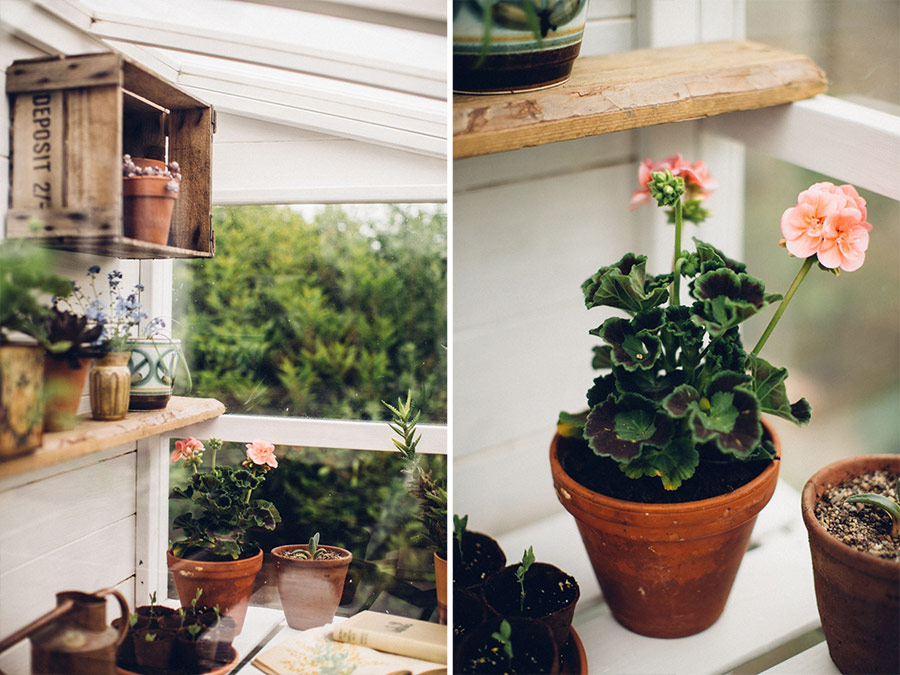 potted summer geraniums