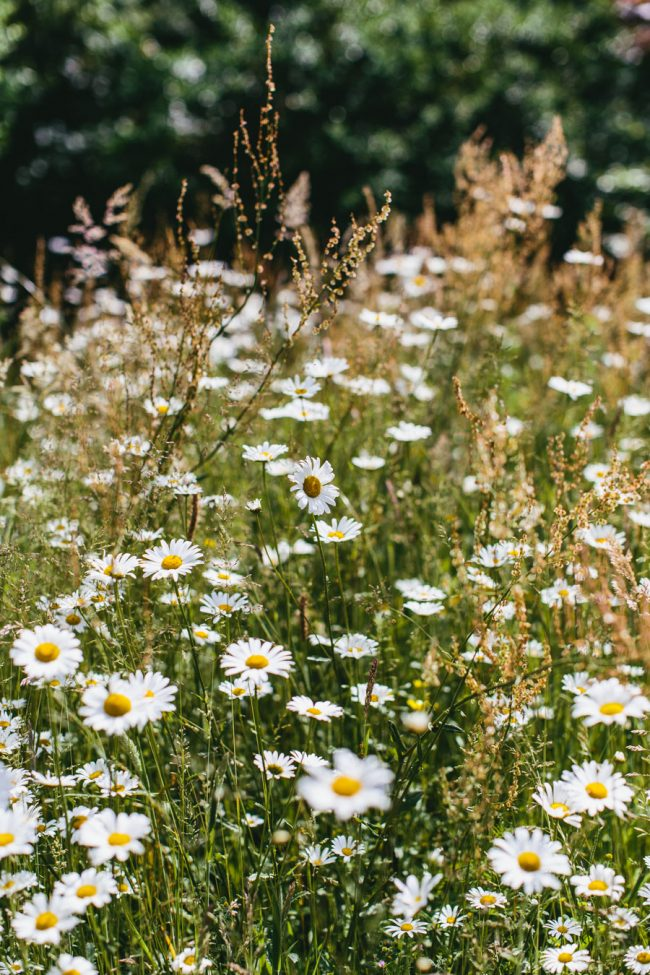 Wild daisies East Sussex