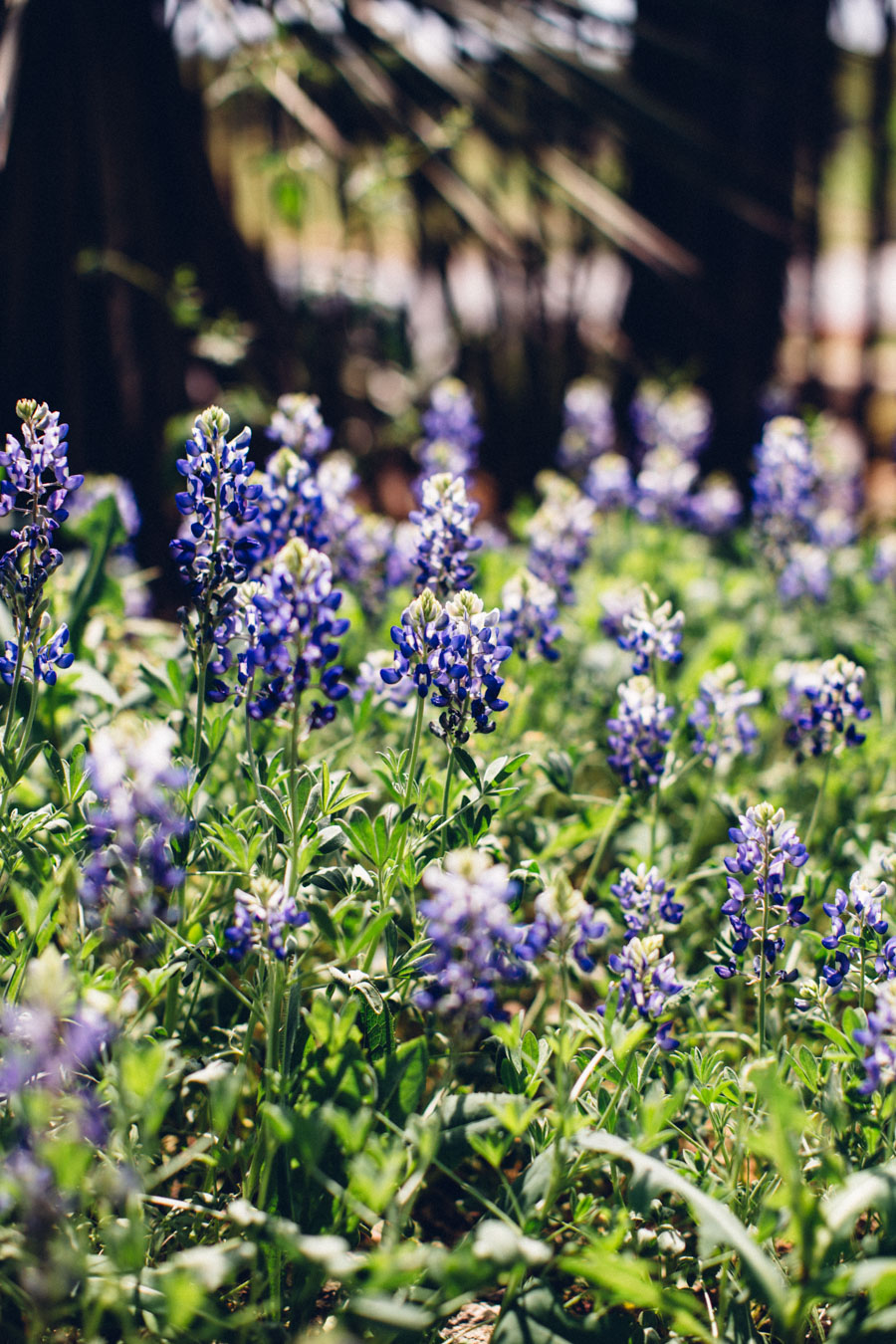 Wild Texas - Texas Blue Bonnet flowers