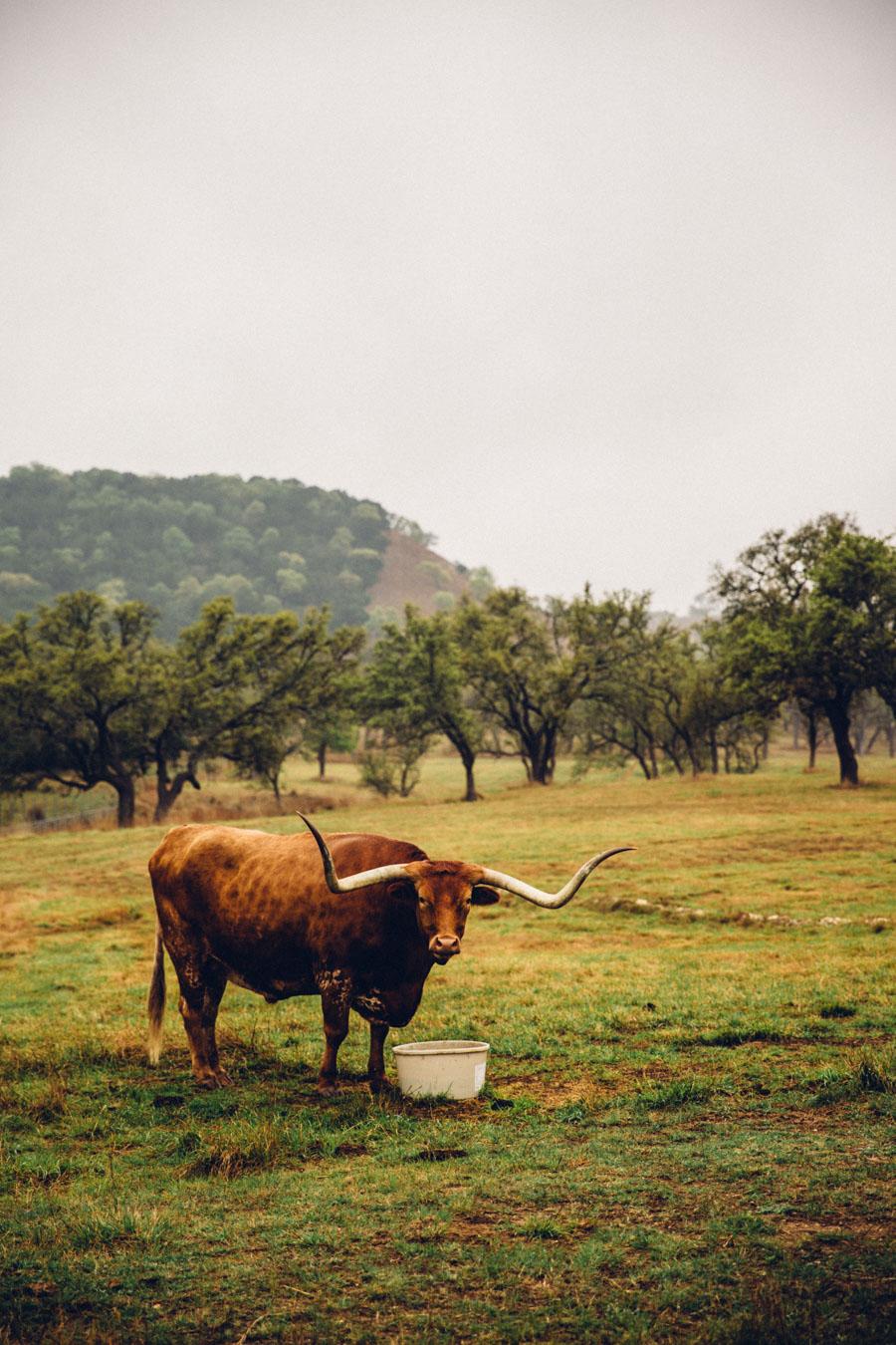 Wild Texas, Enchanted Rock - Long horn cattle