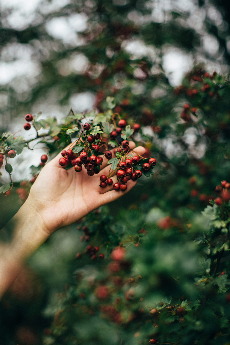 Foraging for hawthorn berries - The Wild Dyer