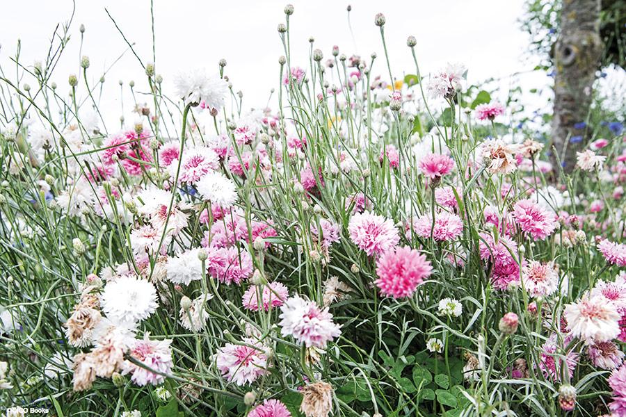 pink cornflowers Rachel Ashwell
