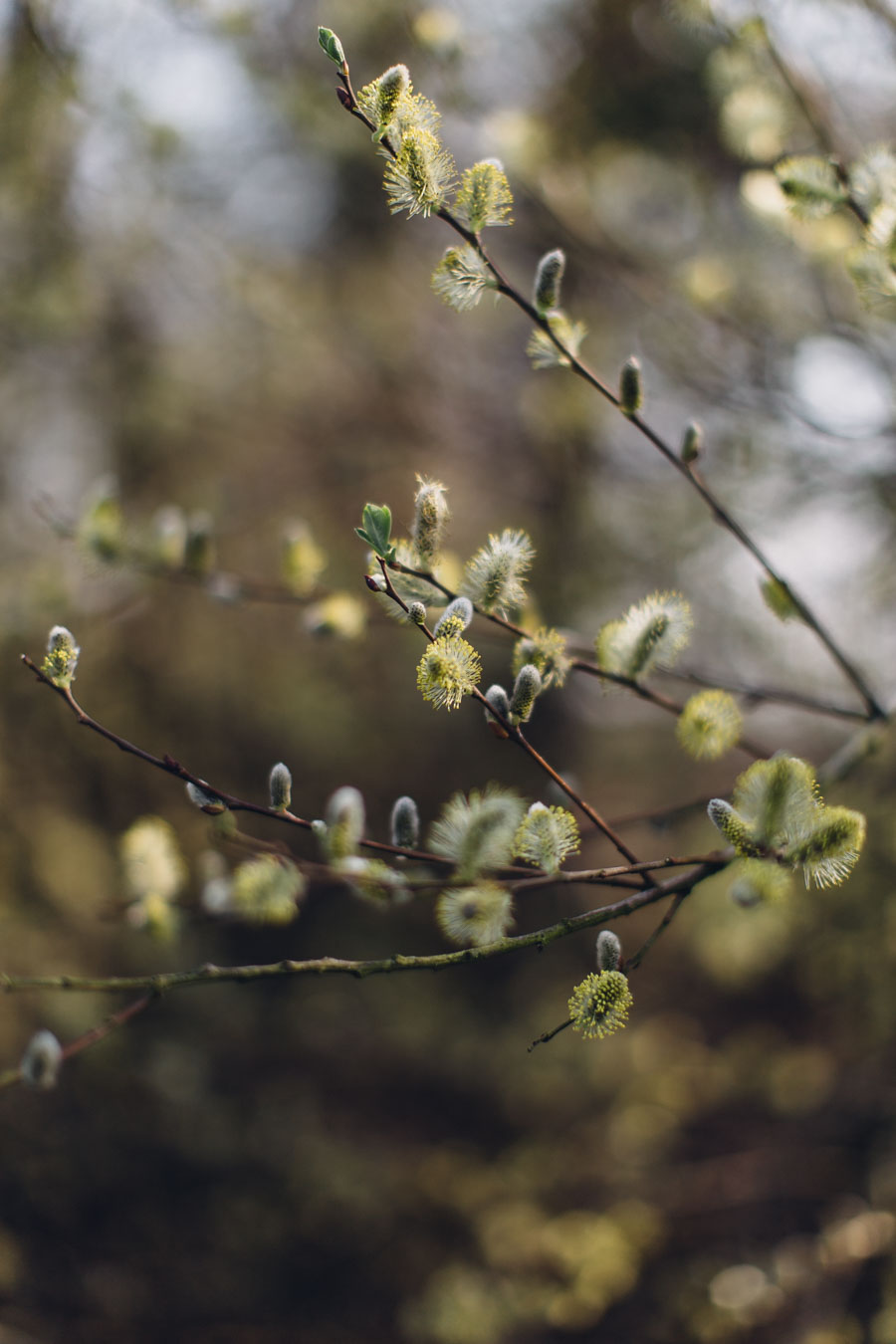 Spring catkins and buds