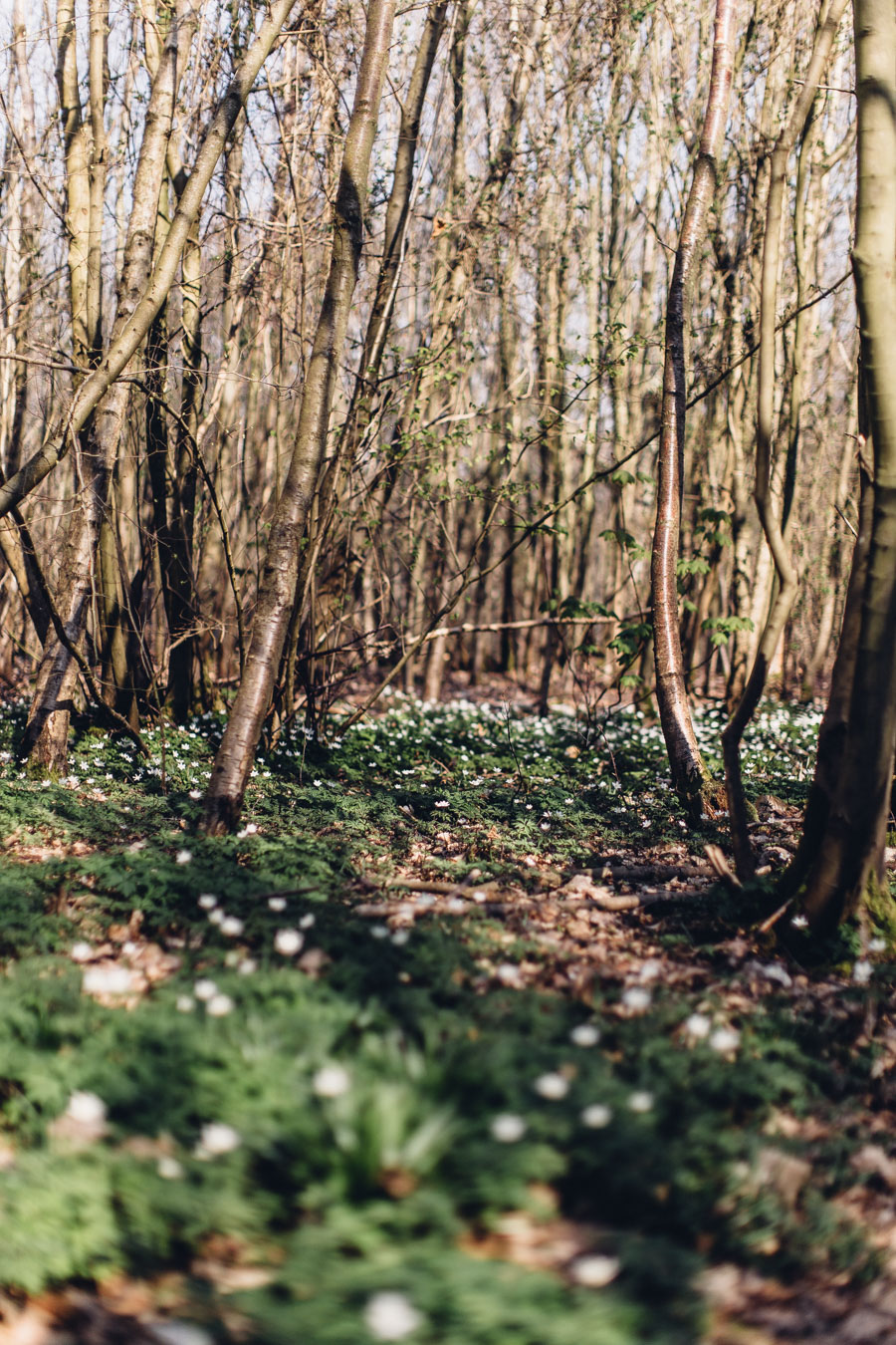 a carpet of wood anemones